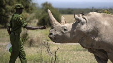Photo of La preservación del rinoceronte blanco está en riesgo por la pandemia de COVID-19.