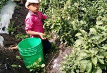 Photo of Consejo Nacional Agropecuario busca que edad mínima para trabajar en el campo sea de 15 años.