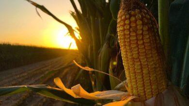 Photo of Adquirirá Segalmex un millón 600 mil toneladas de maíz