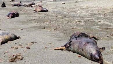 Photo of Aparecen muertos 150 lobos marinos en playa de BCS