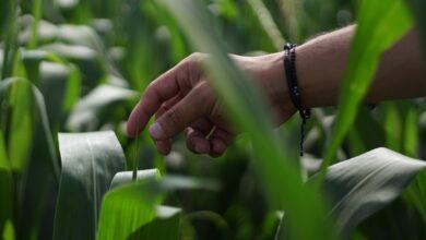 Photo of VITALA: la innovación hecha en México para incrementar la producción sustentable de maíz