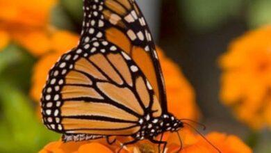 Photo of Definen protocolos sanitarios para santuarios de Mariposa Monarca